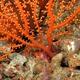 Spider Squat Lobster