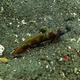 Wide-barred Shrimpgoby