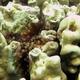 Lesser Knob Coral