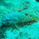 Foursaddle Grouper