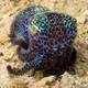 Berry's Bobtail Squid