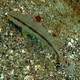 Freckled Goatfish