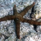 Brown Mesh Sea Star