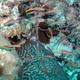 Bluelip Parrofish (Juvenile)