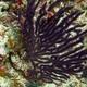 Purple Horn Sea Whip