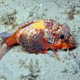 Painted Stingfish