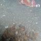 Blunt Decorator  Crab