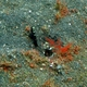 Barred Shrimpgoby