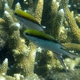 Barrier Reef Chromis