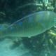 Blue-barred Parrotfish