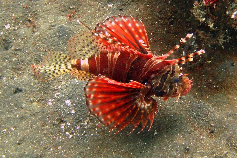 The Zebra Lionfish - W...