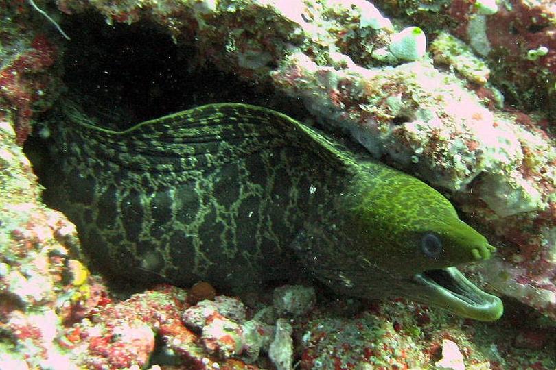 The Undulated Moray Eel
